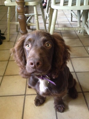 Uggeshall Kennels Sprocker